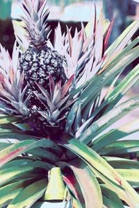 72 dpi pineapple